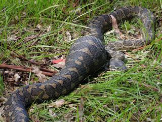 snake digestion carpet python