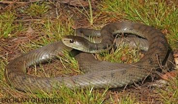 brisbane snake
