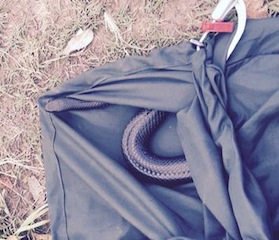 brisbane snake catcher red bellied black snake